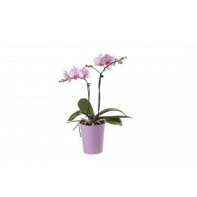 Phalaenopsis Office Orchid, rosa (inkl. Übertopf)