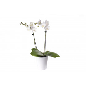 Phalaenopsis Office Orchid, weiss (inkl. Übertopf)