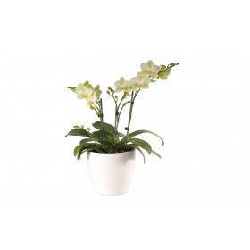 Phalaenopsis Präsent, gelb (3 Pflanzen)