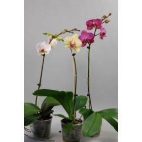 Phalaenopsis-Sortiment