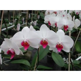 Phalaenopsis Christa Wichmann