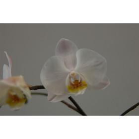Phalaenopsis Helgoland