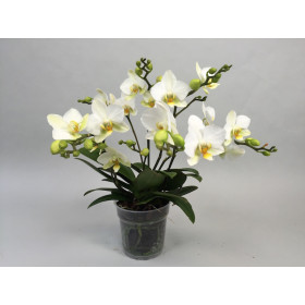 Phalaenopsis Lausanne (5+ Rispen)