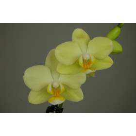 Phalaenopsis Little Lemon