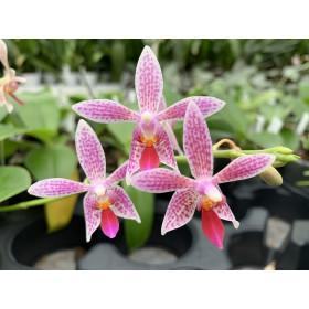 Phalaenopsis maculata x equestris