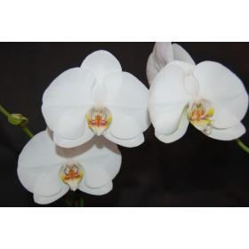 Phalaenopsis Schöne von Celle