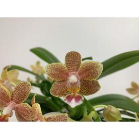 Doritaenopsis Table Masterpiece