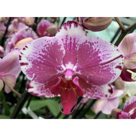 Phalaenopsis Veronique