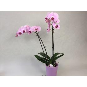 Präsentpflanze PG2, knospig-angeblüht (inkl. Übertopf)