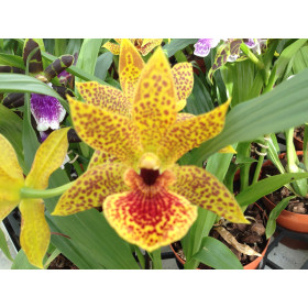 Propetalum Golden Bay (1 Rispe)
