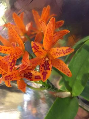 Cattleya aurantiaca 'Mishima Spot'