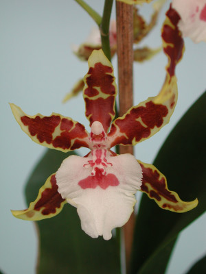 Colmanara Jungle Monarch (Jungpfl.)