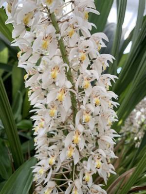 Coelogyne multiflora
