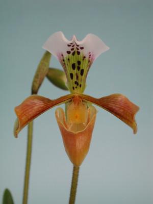 Paphiopedilum gratrixianum (Jgpfl.)