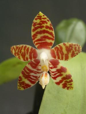 Phalaenopsis amboinensis (Jgpfl.)