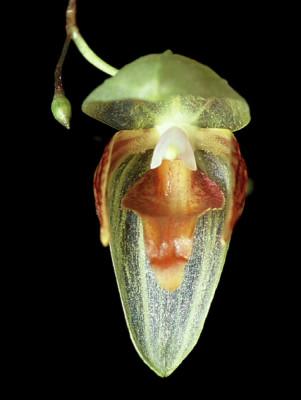 Pleurothallis janettiae