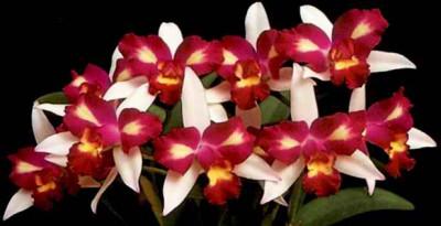 Brassolaeliocattleya Hwa Yuan Beauty 'Pearl' (Jungpfl.)