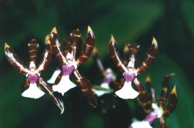 Odontoglossum laeve