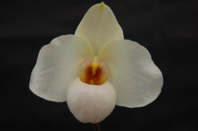 Paphiopedilum Armeni White