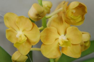 Ascocenda Canary Yellow