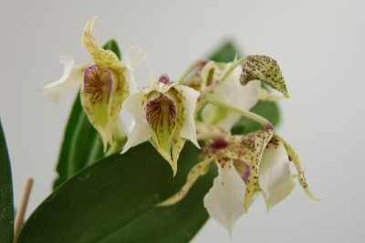 Dendrobium atroviolaceum x D. eximum