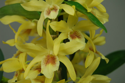 Dendrobium Stardust 'Chyomi' (3-4 Rispen)