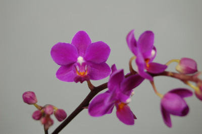 Doritaenopsis Sogo Carmen