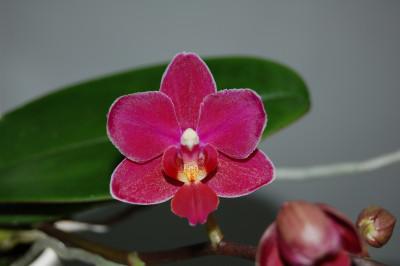 Doritaenopsis Sogo Perfume
