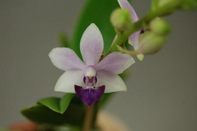 Doritaenopsis Tzy Chiang 'Saphire'