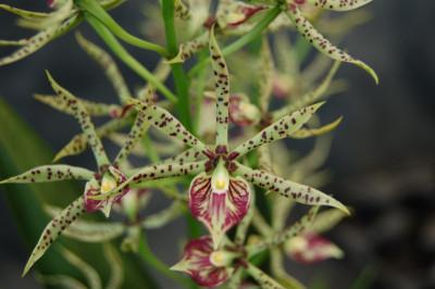 Encyclia cochleatum x prismatocarpum