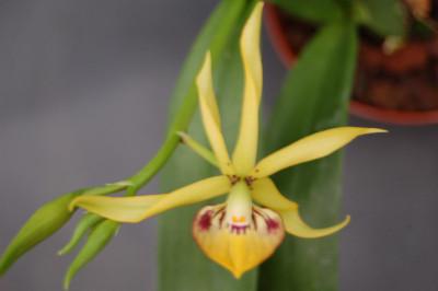 Encyclia vitellinum x cochleatum