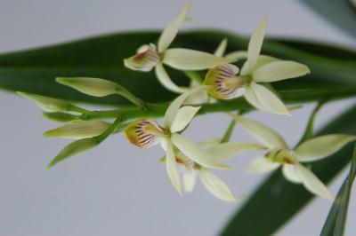 Epidendrum lancifolium