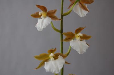 Odontoglossum bictoniense 'semi-alba'