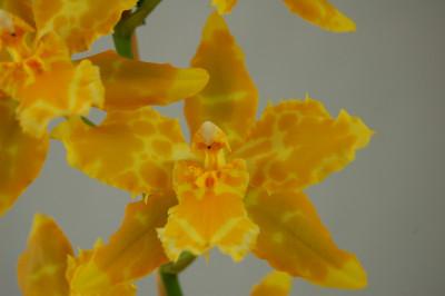 Odontoglossum Hallio crispum 'album' x Geyser Gold