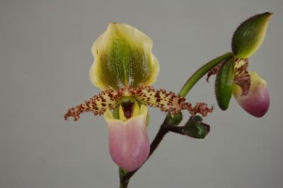 Paphiopedilum glaucophyllum (Jgpfl.)