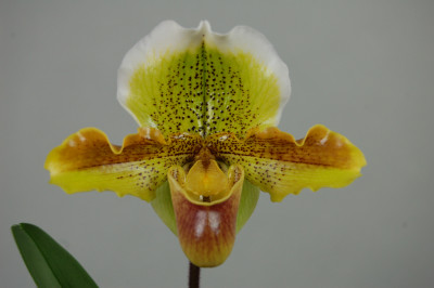 Paphiopedilum Harry Stage
