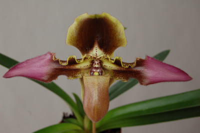 Paphiopedilum esquirolei (Selektion)