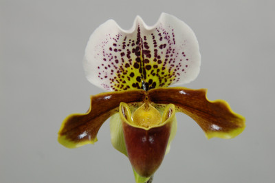 Paphiopedilum Miss Richardt