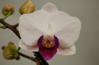 Phalaenopsis Little Red Lip