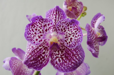 Vanda Exotic Purple