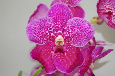 Vanda Fuchs Fuchsia
