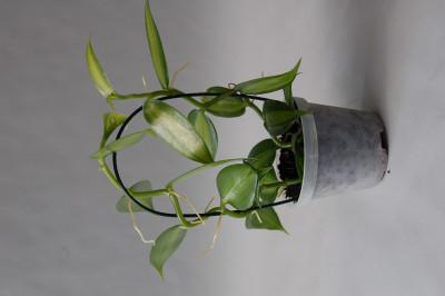 Vanilla planifolia 'variegata' (9 cm) - Echte Vanille Pflanze