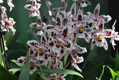Odontoglossum Nippon (Jungpfl.)