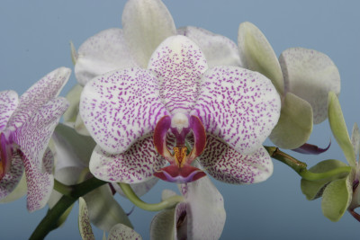 Phalaenopsis Hiddensee