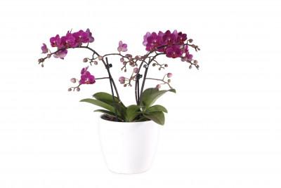 Phalaenopsis Präsent, violett (3 Pflanzen)
