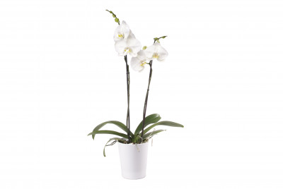 Phalaenopsis Hybride, weiss (inkl. Übertopf)