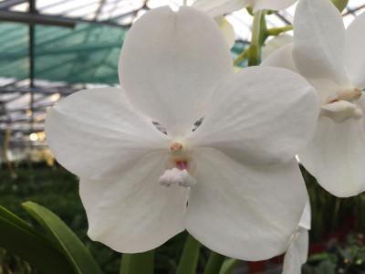 Vanda Diamond White