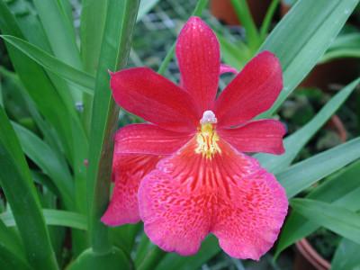 Burrageara Nelly Isler (3 Blütenrispen)
