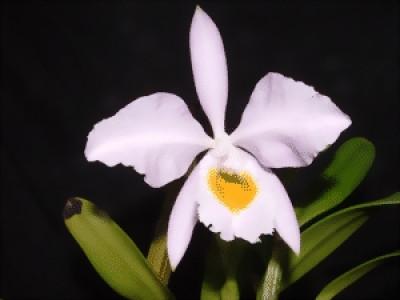 Cattleya eldorado 'rosea concolor'