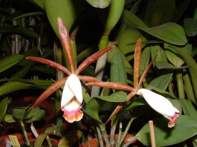 Cattleya araguaiensis